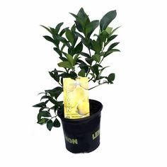 Meyer Lemons are especially desired for their pleasant aroma and small shrub-like size which makes them well suited for gardens. The tree is moderately vigorous and cold hardy. The fruit is medium siz