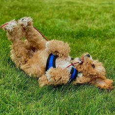 Cavapoo Mixed Dog Breed Pictures, Characteristics, & Facts Cavapoo Puppies, Cute Puppies, Dog Breeds Pictures, Teddy Bear Dog, Poodle Mix, King Charles Spaniel, Small Dog Breeds, Family Dogs, Cute Animals