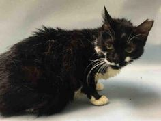 BROOKLYN CENTER  KLAIR – A1087288  SPAYED FEMALE, BLACK / WHITE, DOMESTIC SH MIX,7 yrs STRAY – STRAY WAIT, HOLD FOR ID Reason STRAY Intake condition UNSPECIFIE Intake Date 08/25/2016, From NY 11417, DueOut Date08/28/2016, I came in with Group/Litter #K16-071717.  Medical Behavior Evaluation BLUE Medical Summary Scanned negative BARH- tolerated all handling; hissed at other cats Spayed female Approx 7 yrs old Eyes, ears and nose- clear Teeth- moderate staining No parasites or fleas seen