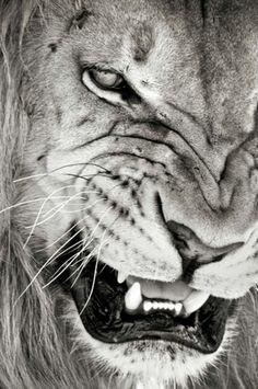 Lion snarling