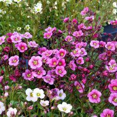 Nu håller vi fredagkväll och avslutar dagen med en bild från vårt växthus och vackra saxifraga. Trevlig fredagkväll! #lillahultsblommor #hosossblirnärodlatstort #gjordmedkärlek #perenner