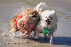 Pomeranian beach fun #pomeranian Find us on Facebook @ https://www.facebook.com/snoop.pomeranian