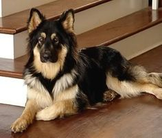 This is probably the most beautiful German Shepherd I have ever seen!!