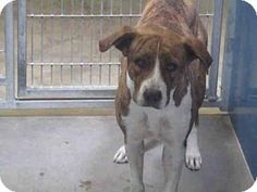 URGENT MARICOPA COUNTY ACC  Phoenix, AZ - American Pit Bull Terrier Mix. Meet SALLY, a dog for adoption. http://www.adoptapet.com/pet/16736436-phoenix-arizona-american-pit-bull-terrier-mix