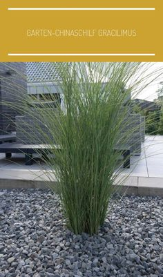 Garden Chinese Reed Gracilimus - Buy Miscanthus sinensis Gracillimus online cheap Informations About Garten-Chinaschilf Gracilimus - Miscanthus sinensis Gracillimus günstig online kaufen Pin You can e Trees Draw, Modern Landscaping, Backyard Landscaping, Miscanthus Sinensis Gracillimus, Landscape Design, Garden Design, China Garden, Garden Projects, Diy Projects