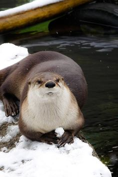 Disgruntled otter is deciding at whom to throw that snowball - December 15, 2017