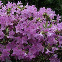 Lavender Azalea
