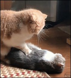 ACG • CAT GIF • Massage time between 2 cats Funny because it looks like CPR on dead Cat haha