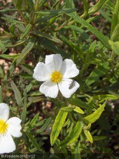 Cistus monspeliensis.Nom commun : Ciste de Montpellier.  Feuille étroite vert foncé, rugueuse, très aromatique. Fleur blanche.     Origine : Sud de l'Europe, Ouest de l'Afrique du Nord.