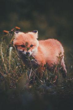 baby fox                                                                                                                                                                                 More