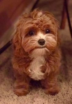 Teacup Cavapoos and Mini Cavapoo puppies for sale. We have Mini Cavapoo puppies, Teacup Cavapoo pups and Micro Cavapoos Poodle Mix Puppies, Mini Goldendoodle Puppies, Goldendoodle Puppy For Sale, Goldendoodles, Doodle Dog Breeds, Toy Dog Breeds, Pet Dogs, Dogs And Puppies, Doggies