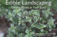 When trying to incorporate edible planting techniques into your home just think about the simple replacements you can make in your garden. There are certain spaces in the landscape that most people try to fill - ground covers, low-level flowering plants, climbing vines and ornamental shrubs.