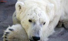 SeaWorld planeja separar ursas polares e explorar uma delas para reprodução
