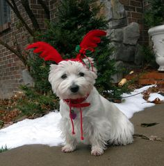 Christmas ! Santa's little helper Miss Zoe // omg, adorable! File under why Westies are the best!
