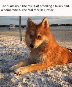 50 Animal Memes Pomsky Pomeranian and Husky mix ❤❤❤ Funny Animal Memes, Funny Animal Pictures, Funny Dogs, Fox Memes, Funny Husky, Animal Pics, Funny Memes, Hilarious, Cute Puppies