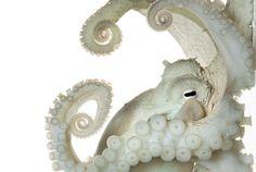 White octopus tentacle, Drop-off, Padang Bai, Bali, Indonesia.