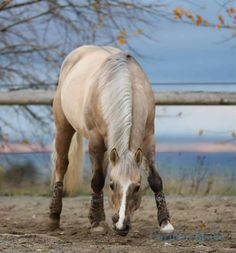 Quarter Horse stallion Hollywood Dolby.......my horse is out of Hollywood Dunit