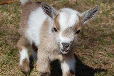My matching Pygmy goat :)