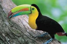 Toucan on a Tree Branch. Toucans have a long, brightly colored bill. They use their bills to pick fruit. Read more fun toucan facts here: http://easyscienceforkids.com/all-about-toucans/