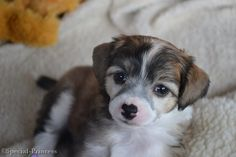 """Bachata Romantica Di China Latina """"Elphaba"""" - our Chinese Crested (powderpuff) - 5 weeks old - Special Princess"""