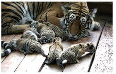 Kaplan ile yavruları