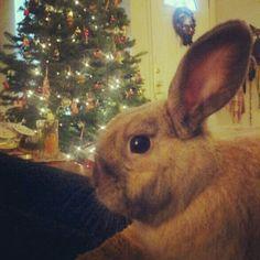 Christmas bunny Hamilton.