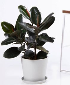 Best Indoor Trees, Tall Indoor Plants, Big Plants, Patio Plants, Tropical Plants, Outdoor Plants, Bonsai, Rubber Plant Care, Pothos Plant