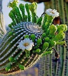Veliki pustinjski kaktus u botaničnom vrtu u Zadru