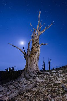 https://flic.kr/p/BCiDyF | Bristlecone Christmas Tree | The moon rises above an ancient bristlecone pine tree on the slopes of Patriarch Grove.