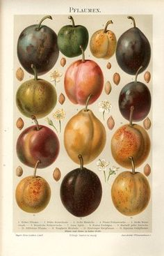 """1894 PLUM FRUIT Antique Chromolithograph Print.  Original old German colour chromolithograph print with a tissue guard/book plate(not a modern reproduction)comes from a German lexicon.     The print has been printed by Bibliographisches Institut Leipzig,Germany in 1894.     Very decorative.It looks great when framed.     The overall size of this print with margins approx 9 3/4"""" x 6 1/2"""".  Sold $56.33"""