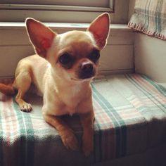 Chihuahua {love} Prince. So cute!