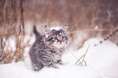ラブリー-KittyCats、gatinhamel:СнежныйбарсикアルテムによってKarpukhin