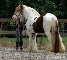 Drumshambo of Feathered Gold Stables. Gypsy Vanner horse.