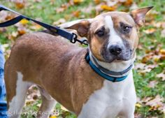 ADOPT!!! Meet Ernest, a Petfinder adoptable Hound Dog | Enfield, CT | Ernest is a 2 year old, 55 lb hound/lab/boxer/something-something mix. Ernest is a true Heinz 57....