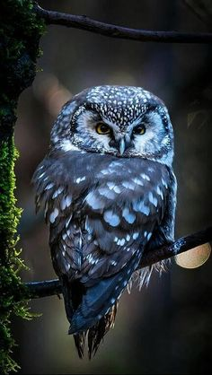 A gorgeous Boreal Owl perched on a branch of a tree in the Bayerischer Wald National Park, Germany. By Angiolo Manetti. Owl Photos, Owl Pictures, Exotic Birds, Colorful Birds, Rare Birds, Beautiful Owl, Animals Beautiful, Simply Beautiful, Owl Bird