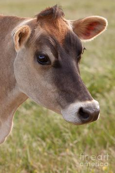 Jersey Cow Portrait by Michelle Wrighton Felt Animals, Animals And Pets, Baby Animals, Cute Animals, Gado Jersey, Jersey Cattle, Jersey Cows, Fluffy Cows, Cow Pictures