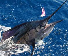 This sailfish (caught off of Quepos) is just a few feet from the boat and a few minutes from being released.