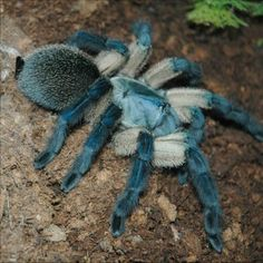 Blue Baboon tarantulaMonocentropus balfouri via Spiders are Adorable