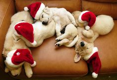 Sleepy Christmas puppies~ :)