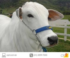 Adaptação alimentar do gado bovino em confinamento #cursoscpt