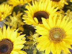 All About Sunflowers - on HGTV