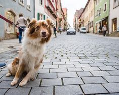 "Paula, Australian Shepherd (7 y/o), Obere Schmiedgasse, Rothenburg ob der Tauber, Germany • ""She needs a lot of time to walk and doesn't like small children."""