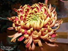японские хризантемы - Поиск в Google