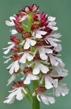 Kentish-Maid / The Lady-Orchid: Orchis purpurea - Kent Woodland Orchids