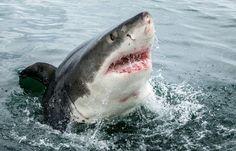 Крутые фото гигантской белой акулы (4 фото)