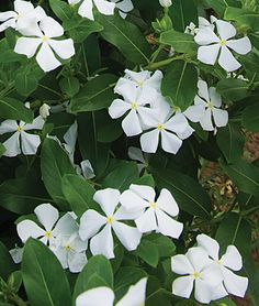 "White Vinca. Easy to grow and loves the heat and sun. ""Vincas are the indestructible beauties of the garden. While resembling impatiens, they thrive in full sun and intense heat. Hardy, large, bushy plants provide a dense layer of sparkling color and evergreen foliage to beds, borders and containers. Plants require almost zero care."" Annual, Full Sun."