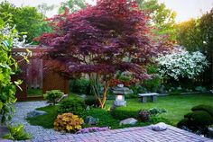 I don't like the garden at all but this is a perfect example of the natural form of the 'Bloodgood' Japanese maple. I don't like the garden at all but this is a perfect example of the natural form of the 'Bloodgood' Japanese maple. Japanese Garden Design, Small Garden Design, Japanese Gardens, Japanese Garden Backyard, Japanese Style, Hillside Garden, Garden Villa, Asian Garden, Gravel Garden
