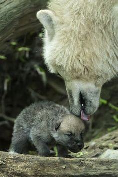 White Wolf: Arctic Wolf Pups Can Howl With The Best of Them. Also of note, Arctic wolf pups are born black Wolf Love, Animals And Pets, Baby Animals, Cute Animals, Strange Animals, Wild Animals, Beautiful Creatures, Animals Beautiful, Tier Wolf