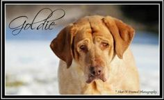 Goldie is an adoptable Labrador Retriever Dog in Vandalia, OH. To be considered as a potential adopter you must complete an application. NO EXCEPTIONS !! Email us for an application or information reg...