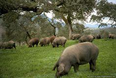 De Iberische varkens danken hun zwarte kleur door het eten van eikels.